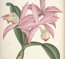 Iconagraphy of Orchids Iconographie des Orchidées Jean Jules Linden V4 V5 1893 0149 by wetdryvac