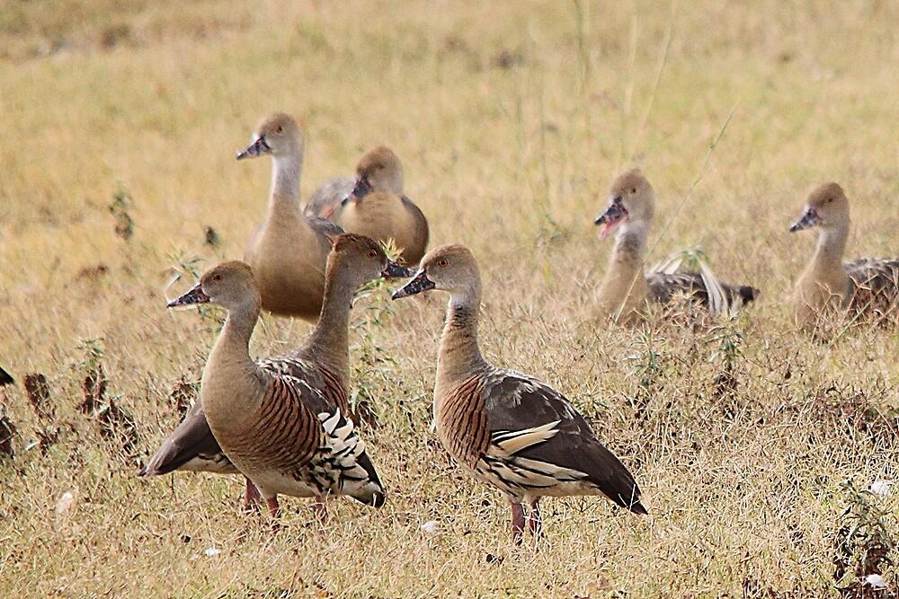 Plumed Whistling Duck by EnviroKey