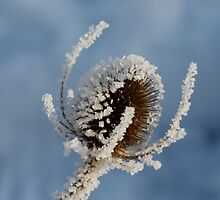 Frosted Teasel   by dilouise