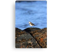 Red Necked Stint Canvas Print