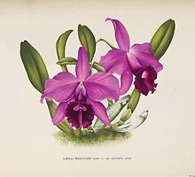 Iconagraphy of Orchids Iconographie des Orchidées Jean Jules Linden V14 1898 0088 by wetdryvac