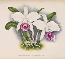 Iconagraphy of Orchids Iconographie des Orchidées Jean Jules Linden V14 1898 0128 by wetdryvac