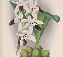 Iconagraphy of Orchids Iconographie des Orchidées Jean Jules Linden V16 1900 0078 by wetdryvac