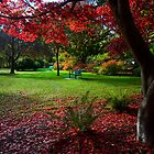 Japanese Maple by Don Guindon