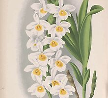 Iconagraphy of Orchids Iconographie des Orchidées Jean Jules Linden V15 1899 0154 by wetdryvac