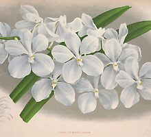 Iconagraphy of Orchids Iconographie des Orchidées Jean Jules Linden V4 1888 0074 by wetdryvac