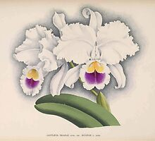 Iconagraphy of Orchids Iconographie des Orchidées Jean Jules Linden V15 1899 0130 by wetdryvac
