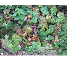 Grapes Photographic Print