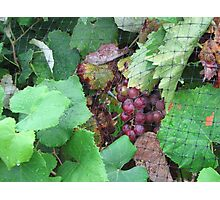bunch of grapes Photographic Print