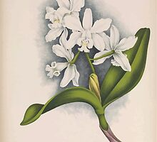 Iconagraphy of Orchids Iconographie des Orchidées Jean Jules Linden V15 1899 0054 by wetdryvac