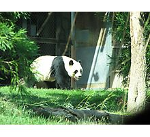 Panda Bear Photographic Print
