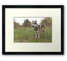 Grassland wolf Framed Print