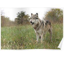 Grassland wolf Poster