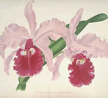 Iconagraphy of Orchids Iconographie des Orchidées Jean Jules Linden V8 V9 1895 0110 by wetdryvac