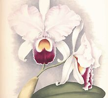 Iconagraphy of Orchids Iconographie des Orchidées Jean Jules Linden V12 V13 1897 0203 by wetdryvac
