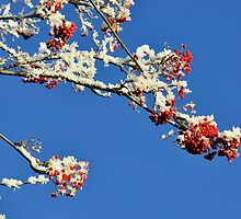 Mountain Ash In Frost by Mike Honour
