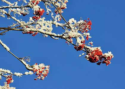 Mountain Ash In Frost