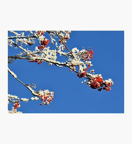 Mountain Ash In Frost Photographic Print