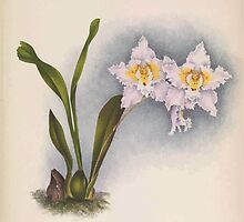 Iconagraphy of Orchids Iconographie des Orchidées Jean Jules Linden V14 1898 0046 by wetdryvac