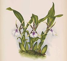 Iconagraphy of Orchids Iconographie des Orchidées Jean Jules Linden V14 1898 0204 by wetdryvac