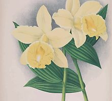 Iconagraphy of Orchids Iconographie des Orchidées Jean Jules Linden V15 1899 0034 by wetdryvac