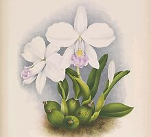 Iconagraphy of Orchids Iconographie des Orchidées Jean Jules Linden V14 1898 0018 by wetdryvac