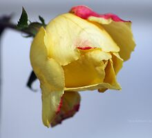 Holiday Rose Bud by Terry Aldhizer
