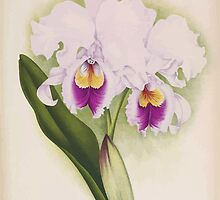 Iconagraphy of Orchids Iconographie des Orchidées Jean Jules Linden V14 1898 0168 by wetdryvac
