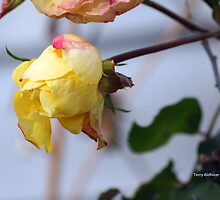 December Yellow Rose Bud by Terry Aldhizer