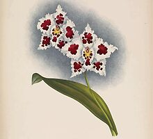 Iconagraphy of Orchids Iconographie des Orchidées Jean Jules Linden V14 1898 0080 by wetdryvac