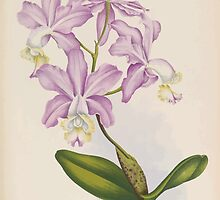 Iconagraphy of Orchids Iconographie des Orchidées Jean Jules Linden V14 1898 0196 by wetdryvac