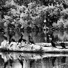 Birds on a log?  by Tyler Johnson