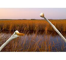 """Birds Eye View"" - great egrets sneak into the picture Photographic Print"