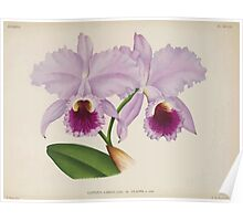 Iconagraphy of Orchids Iconographie des Orchidées Jean Jules Linden V14 1898 0116 Poster