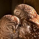&quot;In CoHoots&quot; Two Barred Owls Snuggling by John Hartung