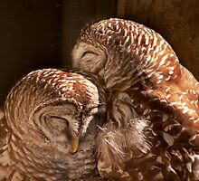 """In CoHoots"" Two Barred Owls Snuggling by John Hartung"