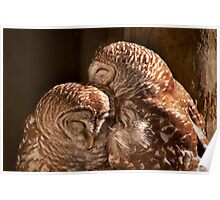 """In CoHoots"" Two Barred Owls Snuggling Poster"