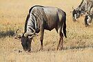 White Race Wildebeest Grazing by Carole-Anne