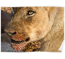 Sparta Lioness Relaxing After Meal Poster