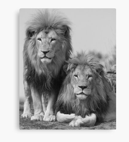 Male Lions (Black and White) Canvas Print