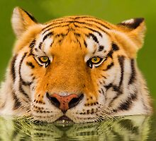 """Cool Cat"" - a Siberian Tiger cools off by John Hartung"