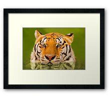 """""""Cool Cat"""" - a Siberian Tiger cools off Framed Print"""
