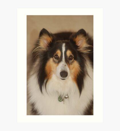 Jock, Shetland Sheepdog Art Print