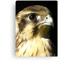 Brown Falcon (Falco berigora) Canvas Print