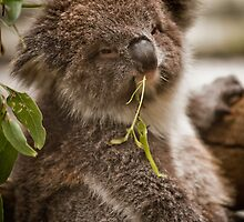 ~ the Koala Calendar ~ by Lisa  Kenny