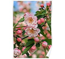 Apple Blossoms at Dickson Poster