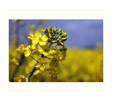 Brassica Napus with Blue Sky Art Print
