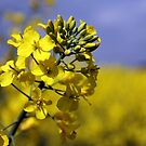 Brassica Napus with Blue Sky by Marie Craig