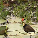 Comb-crested Jacana by Steve Bullock