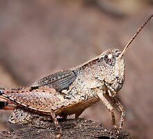 Grasshopper by Scott Carr